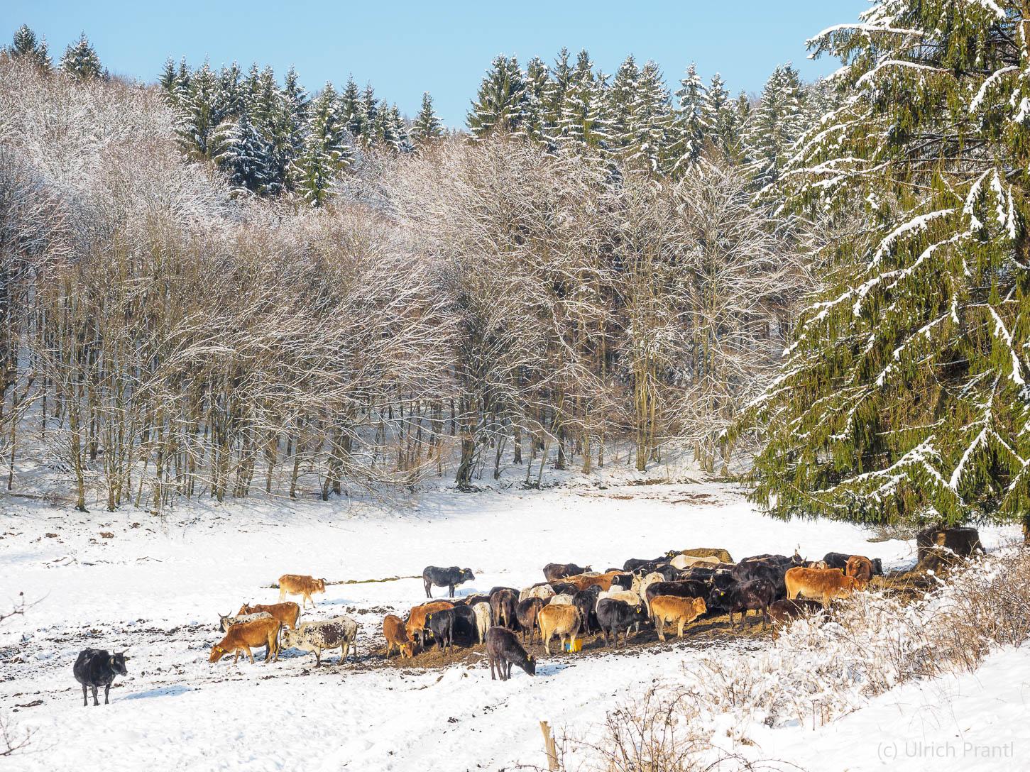 Dammbachtal, Zebuherde, Schnee