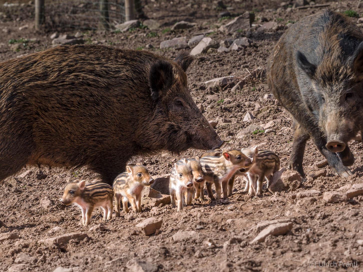 Wildschweine Heigenbrücken