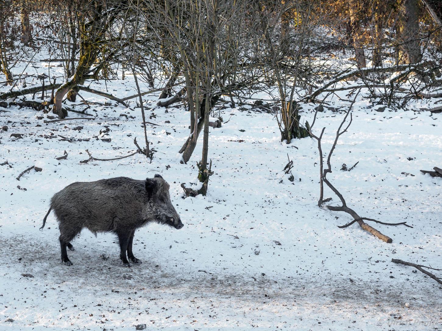 Rot Damm Und Schwarzwild Przewalski Wildpferde