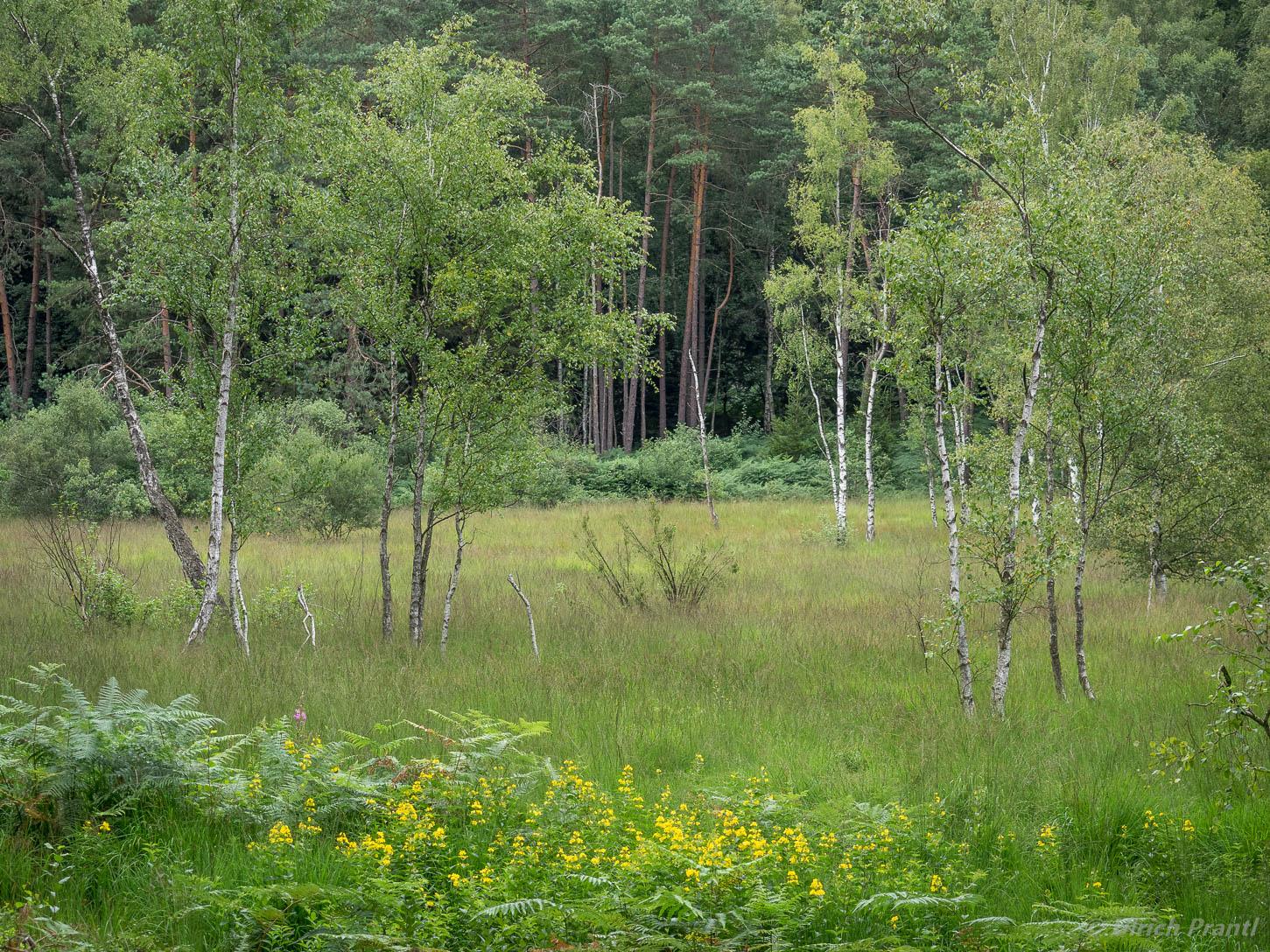wiesbuettmoor, Birken