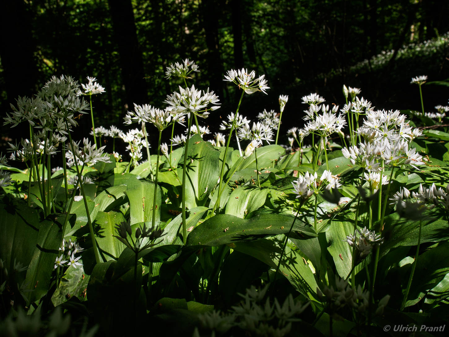Bärlauch, Triefenstein, Wald
