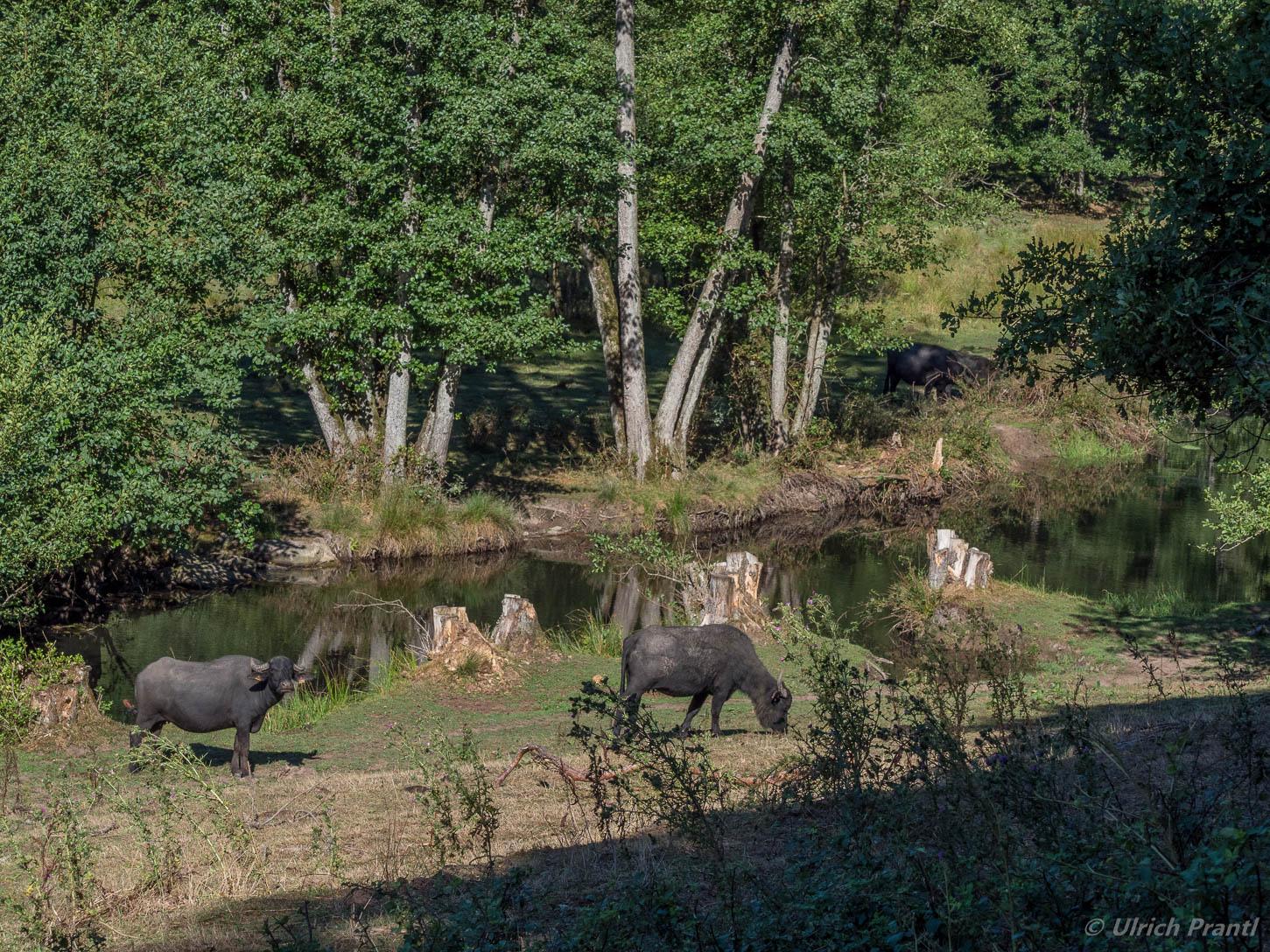 Wasserbüffel im Hafenlohrtal