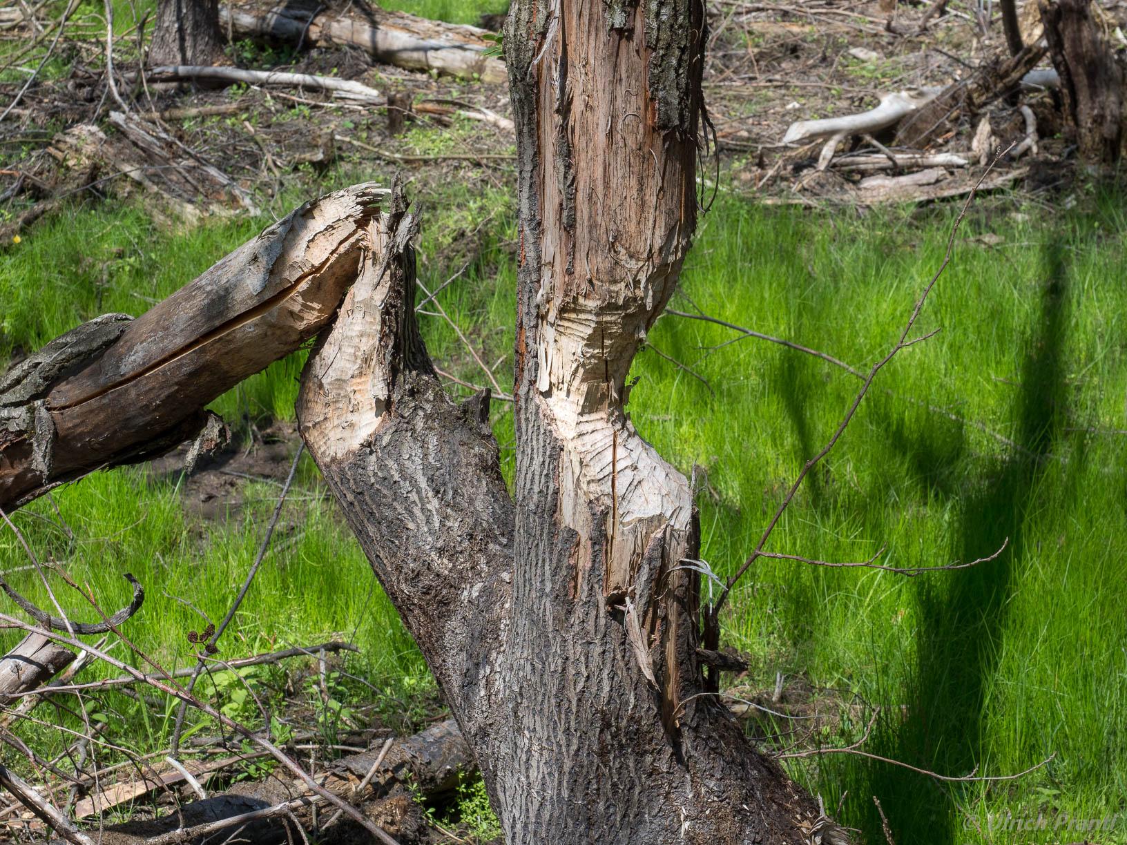 Bieber angenagte Bäume