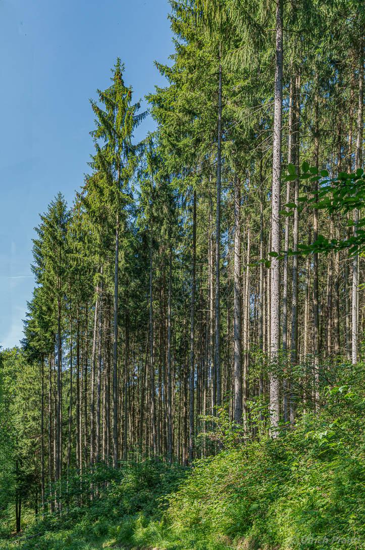 fichten im Spessart-Wald