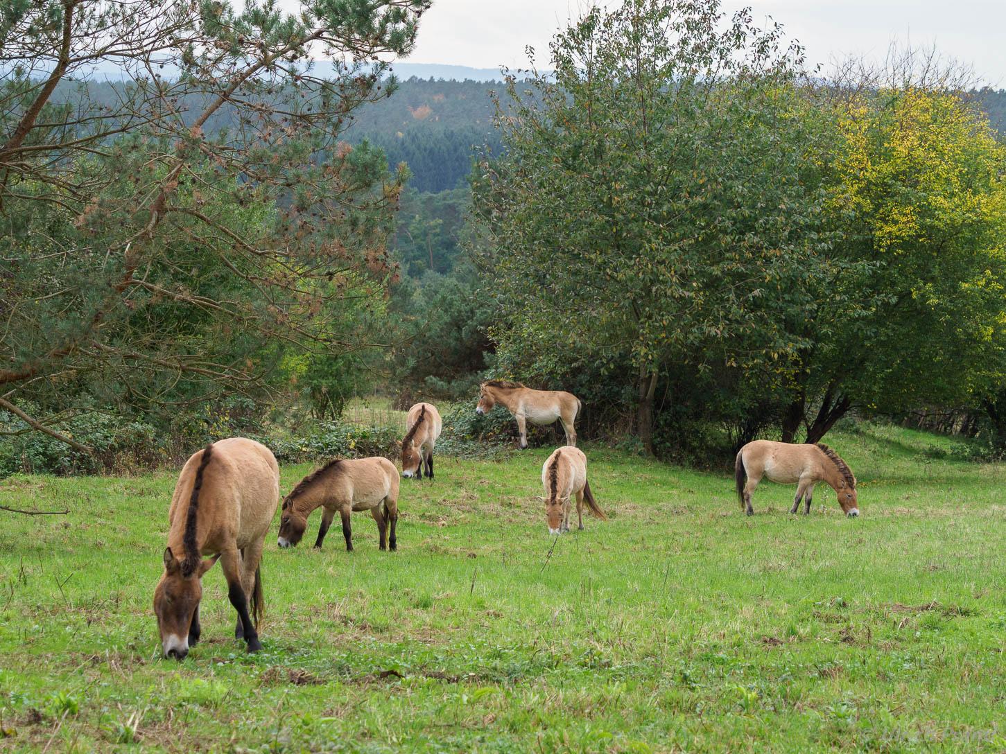 Przewalski-Wildpferde