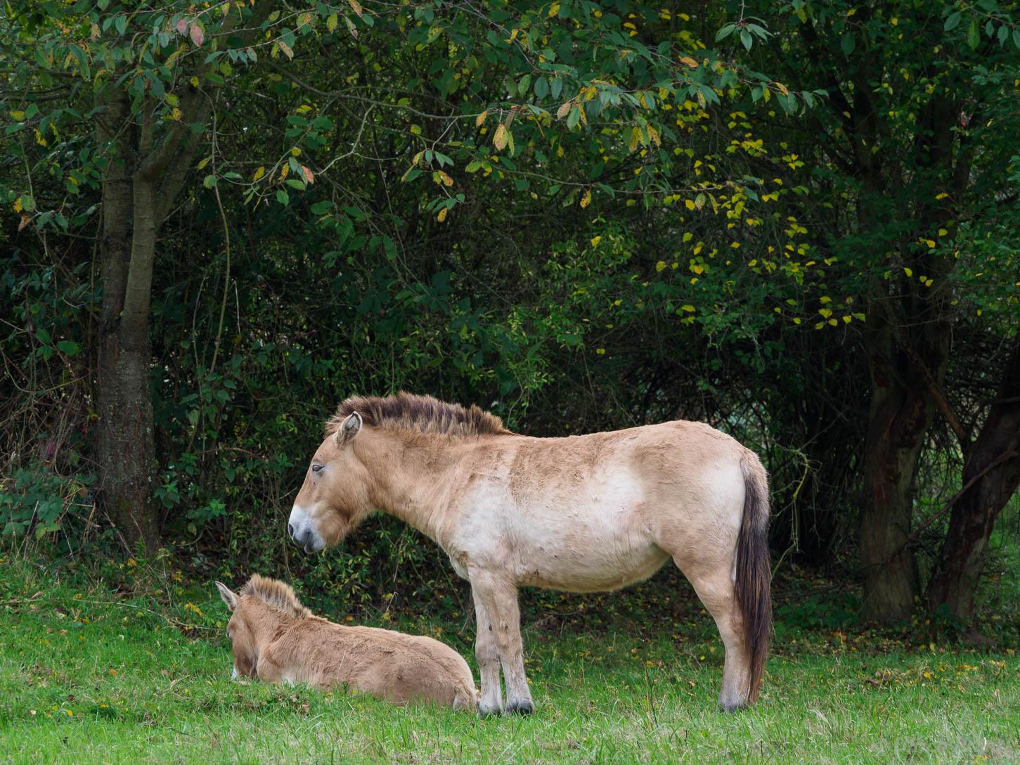 Przewalski-Wildpferde im NSG Exe