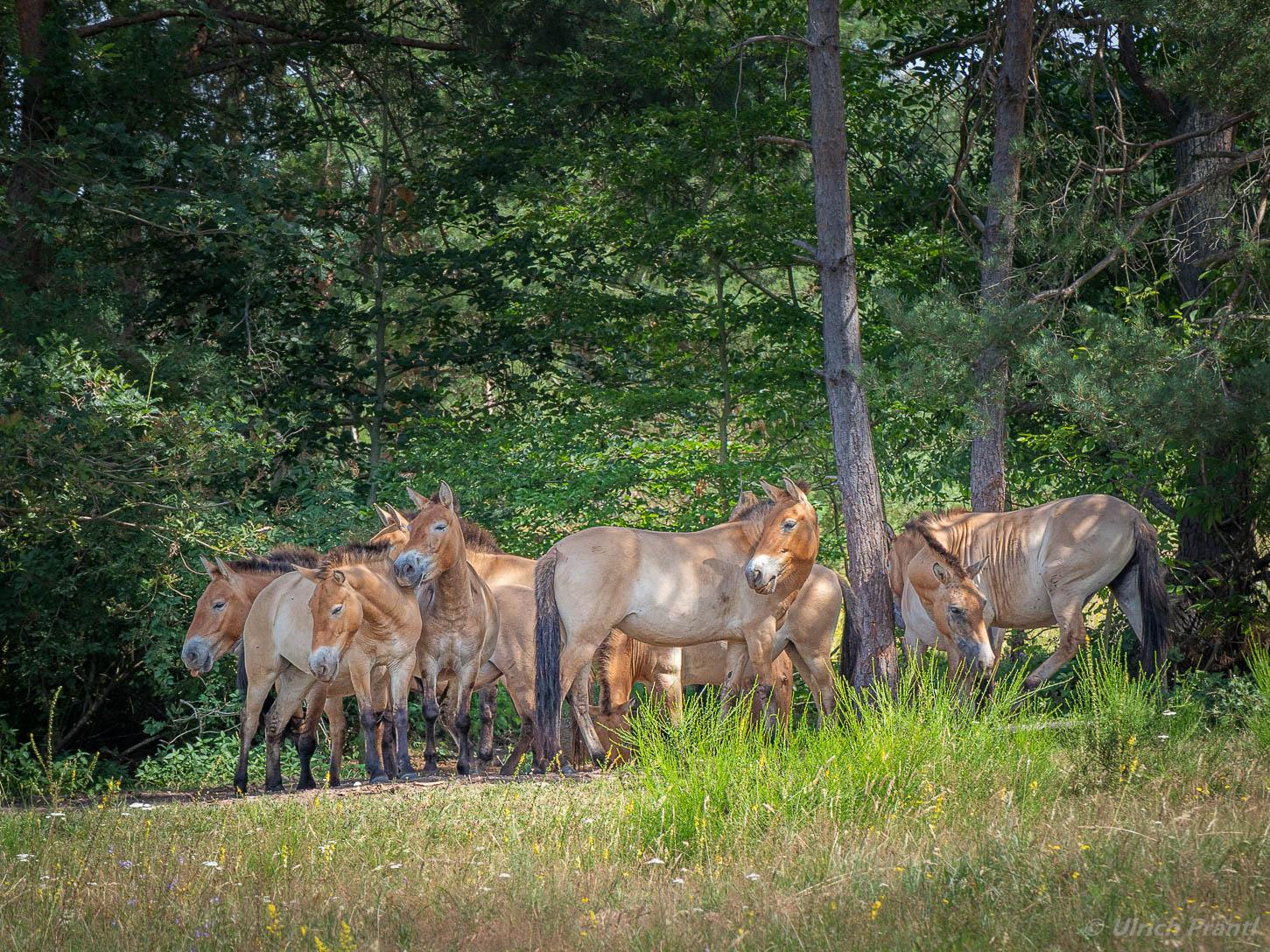 Przewalski-Wildpferde im Spessart