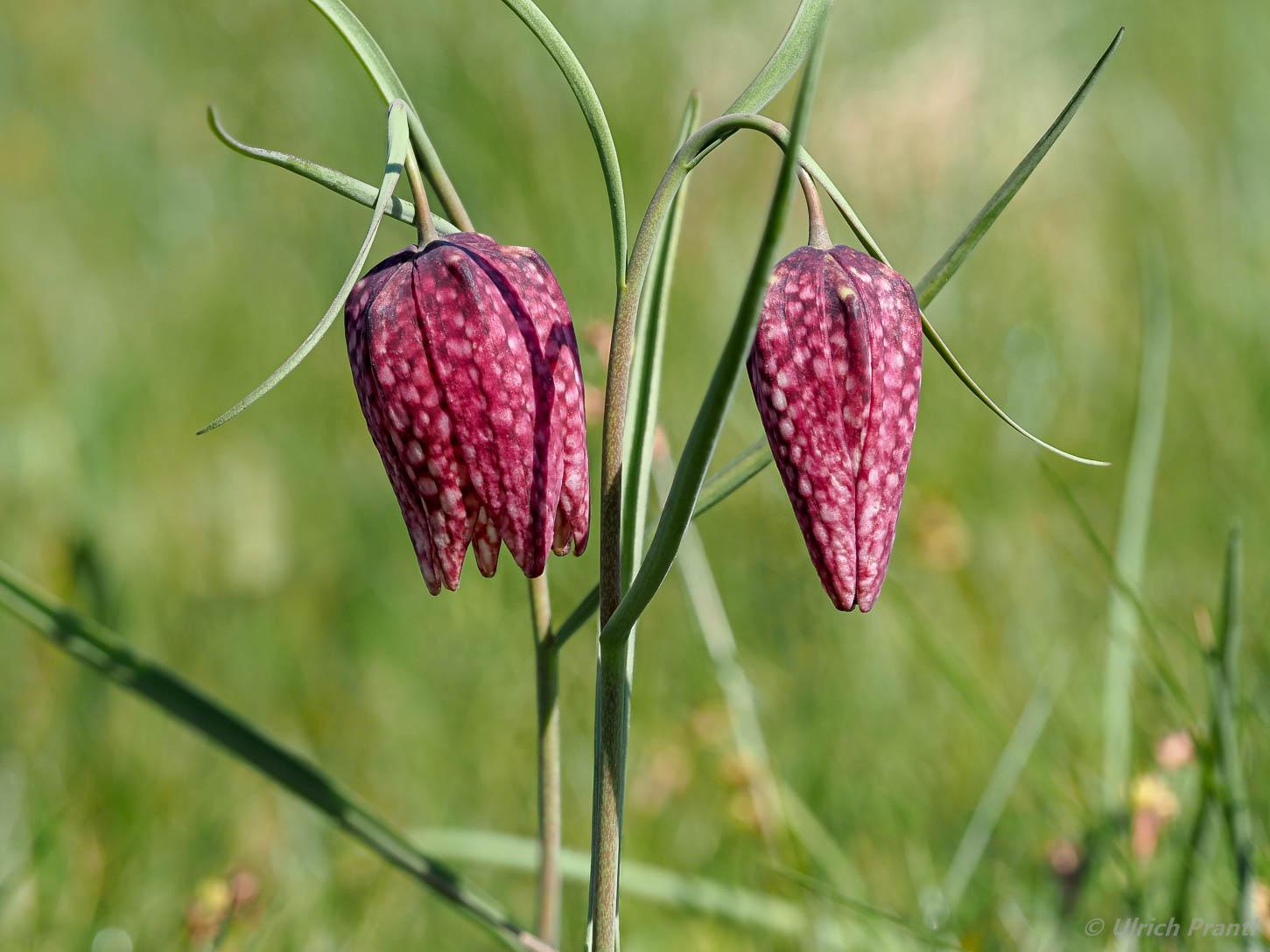 Altengronau Schachbrettblumen