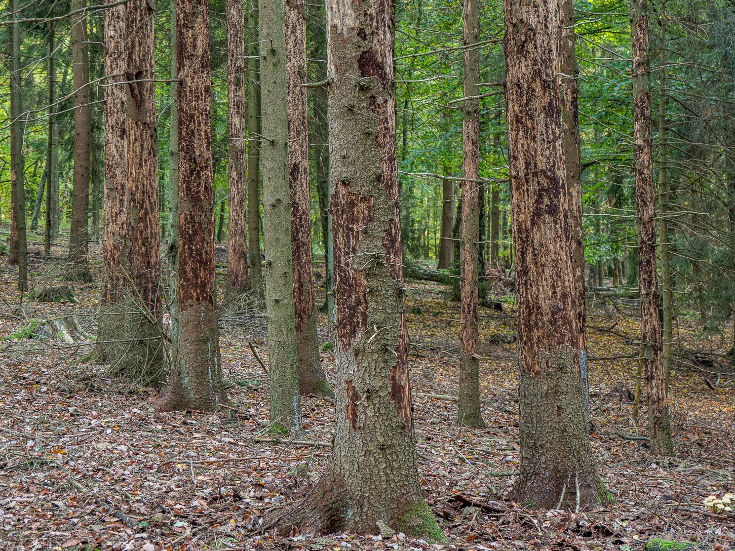Fichtensterben im Spessart-Wald
