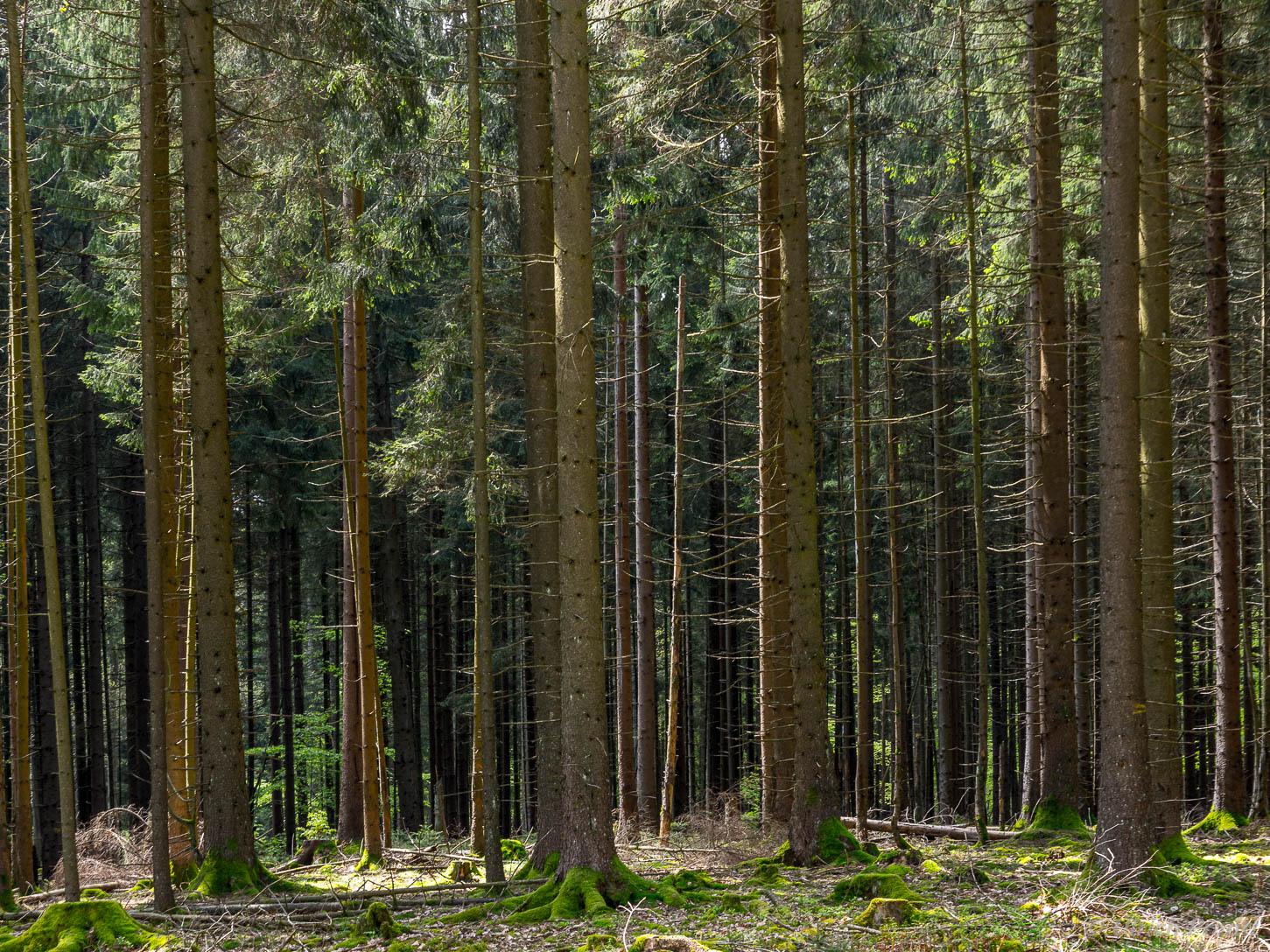 Fichtenwald Spessart